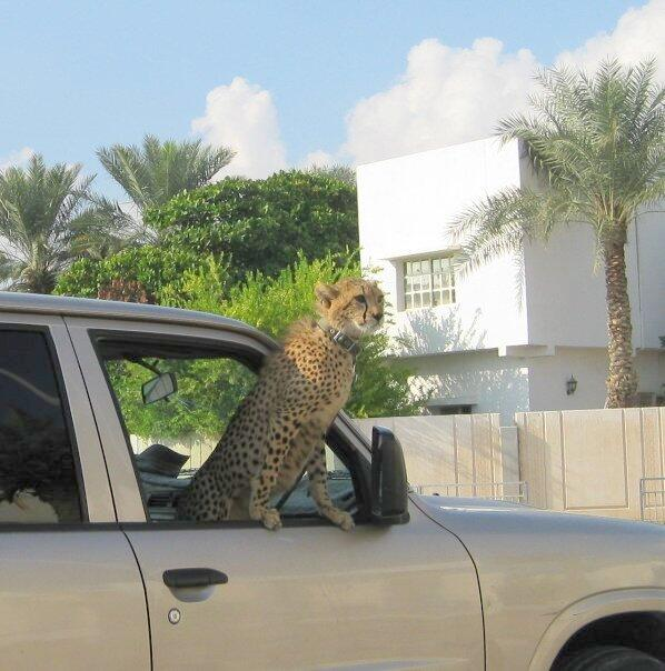 A photograph of a leopard in a car, posted on Serafin Zambada's Twitter account.