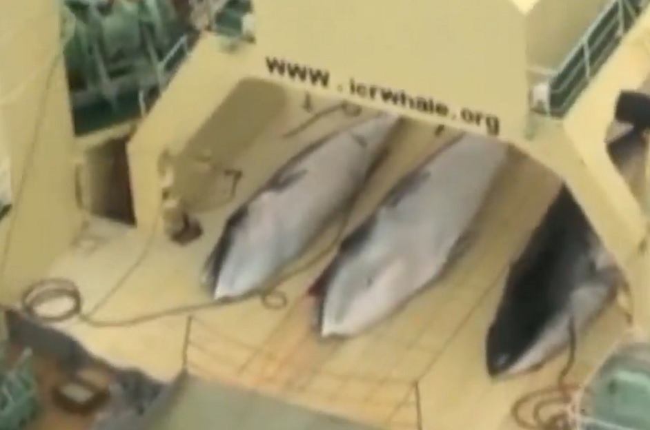 Whale carcasses on board the Japanese boat filmed by Sea Shepherd inside the Southern Ocean Whale Sanctuary