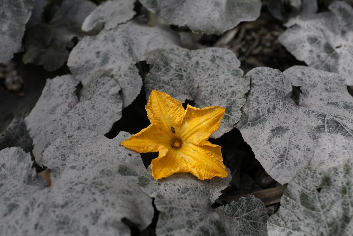 20131126 sinabung flower