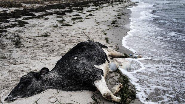 Dead Scandinavian Cows