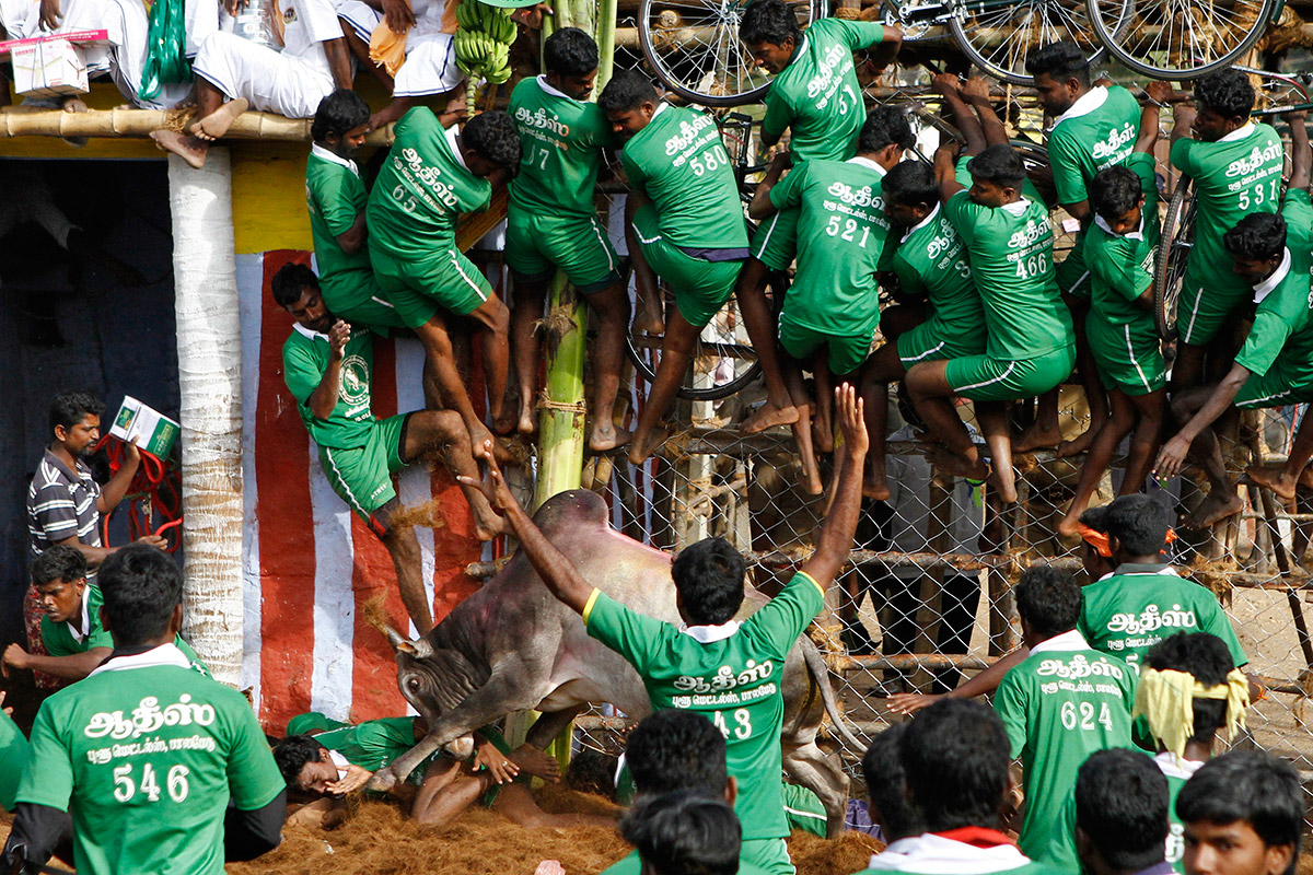 india bull fighting