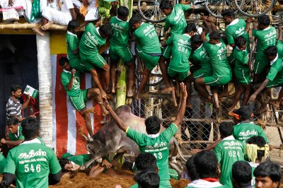 india bull fighting