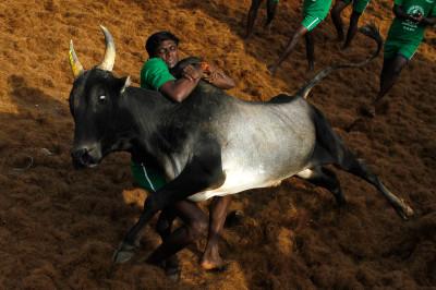 bull taming festival 1