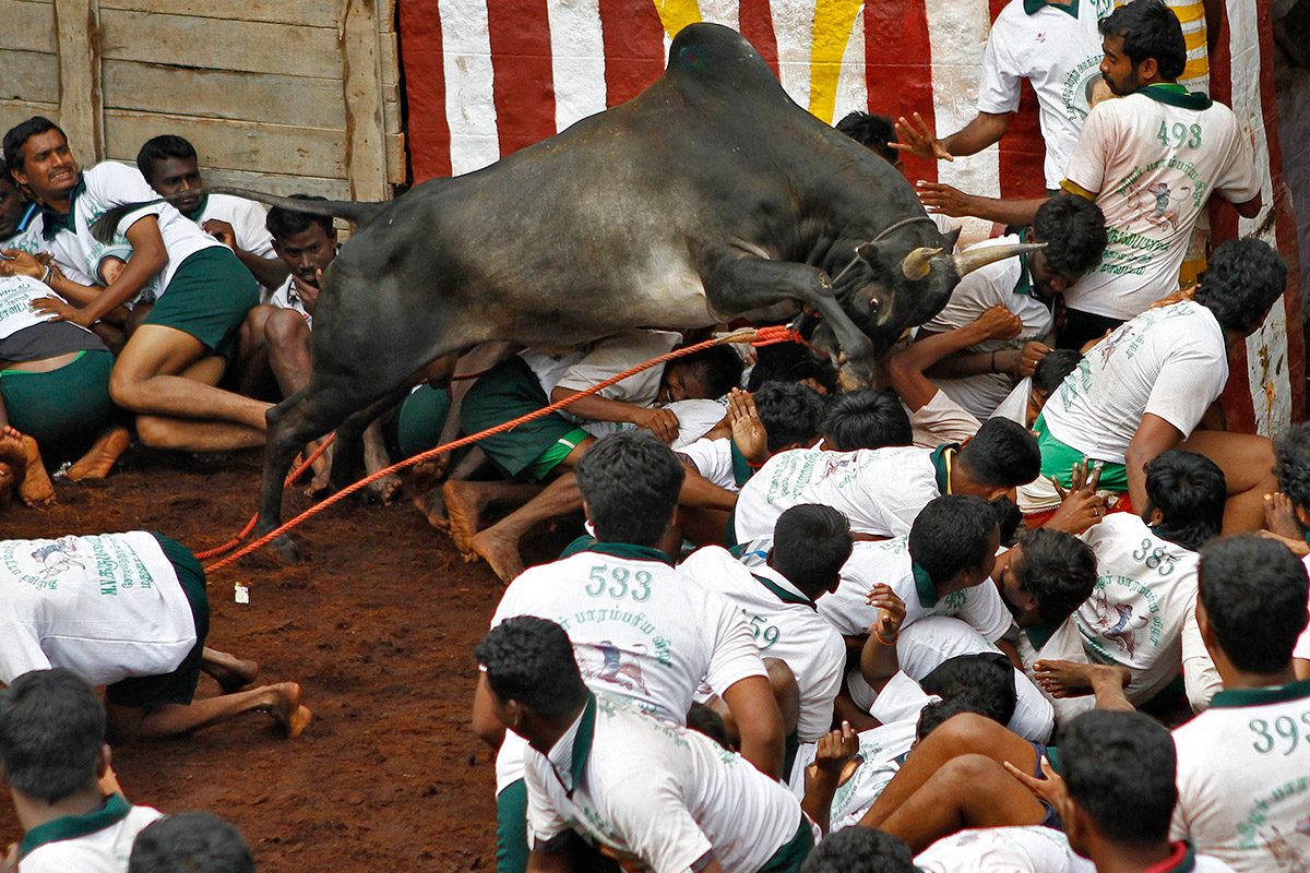 bull taming festival 2