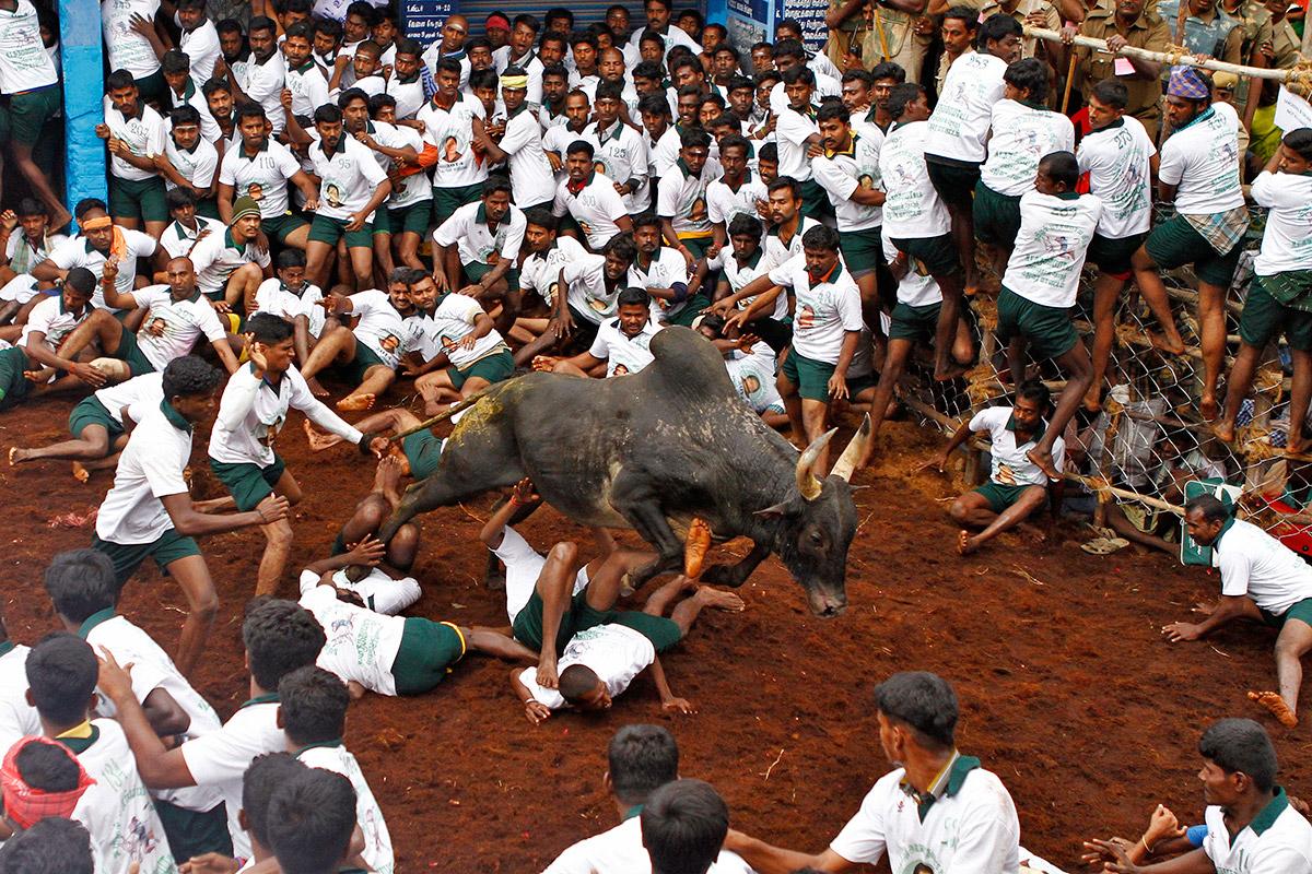 bull taming festival 3