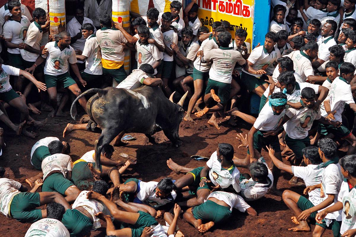 bull taming festival 4