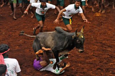 bull taming festival 5