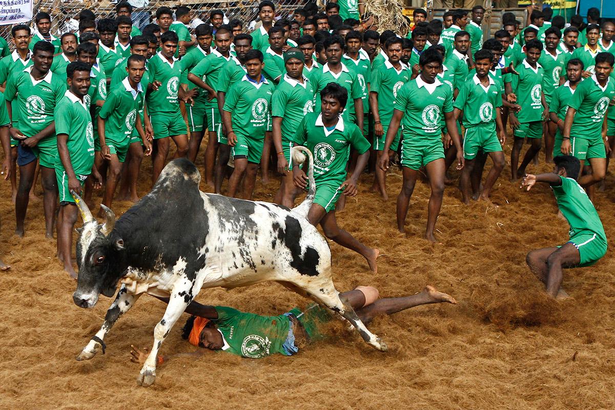 bull taming festival 6