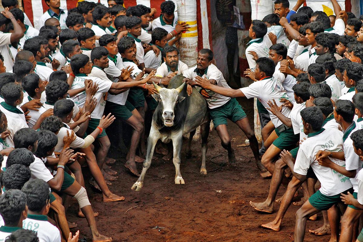 bull taming festival 7