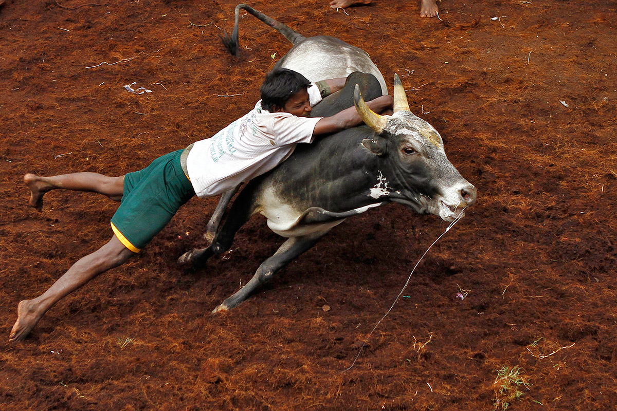 bull taming festival 9