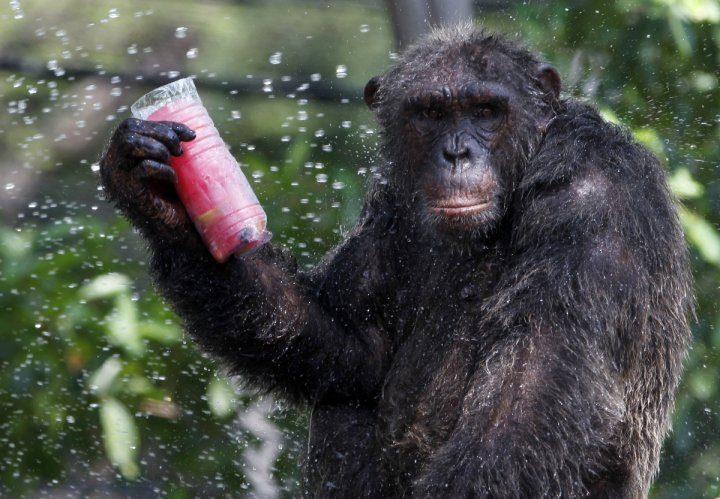 Chimpanzees can gesture for hunting, says a new study.