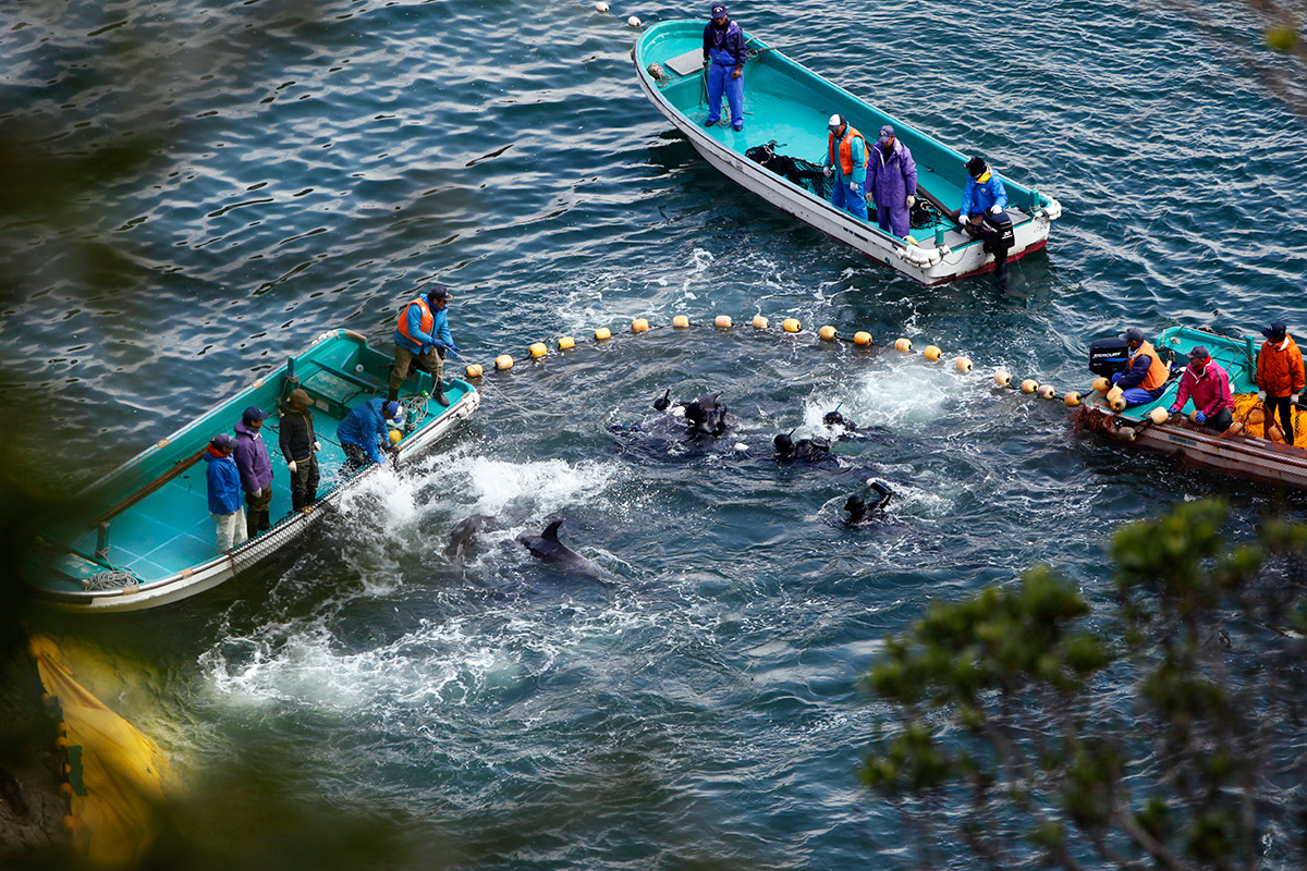 japan dolphins