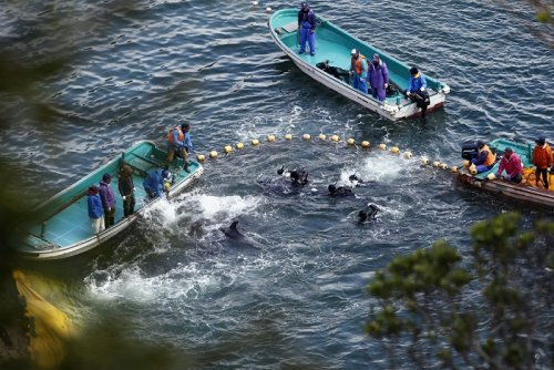dolphin hunt