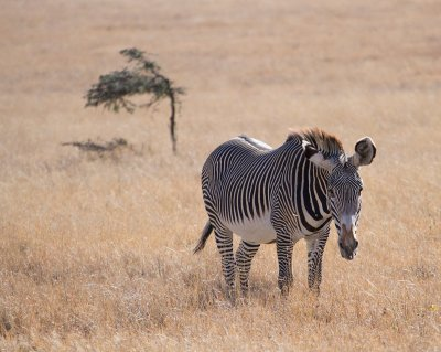 Adult Last Chance to See Entry- Grevy Zebra at Lewa c Michael Peach