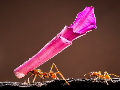 Cat Four - Size Matters. Adult Winner. A GIANT TROPHY FOR A SMALL ANT by Bence Mate c ZSL