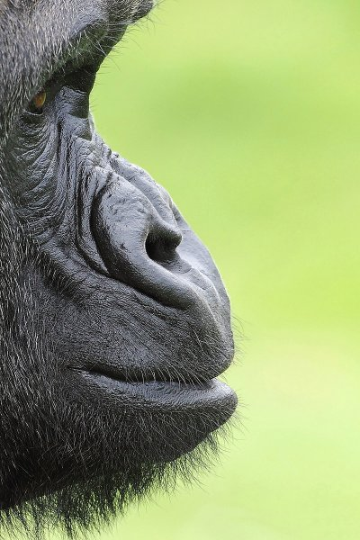 Cat Two - Last Chance to See. Adult Winner. GORILLA PROFILE by Colin Edwards