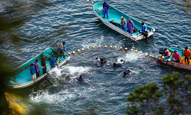 2014 dolphin hunt