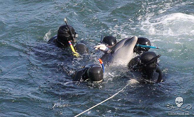 sea shepherd dolphin