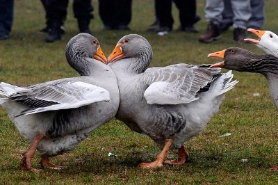 goose fighting