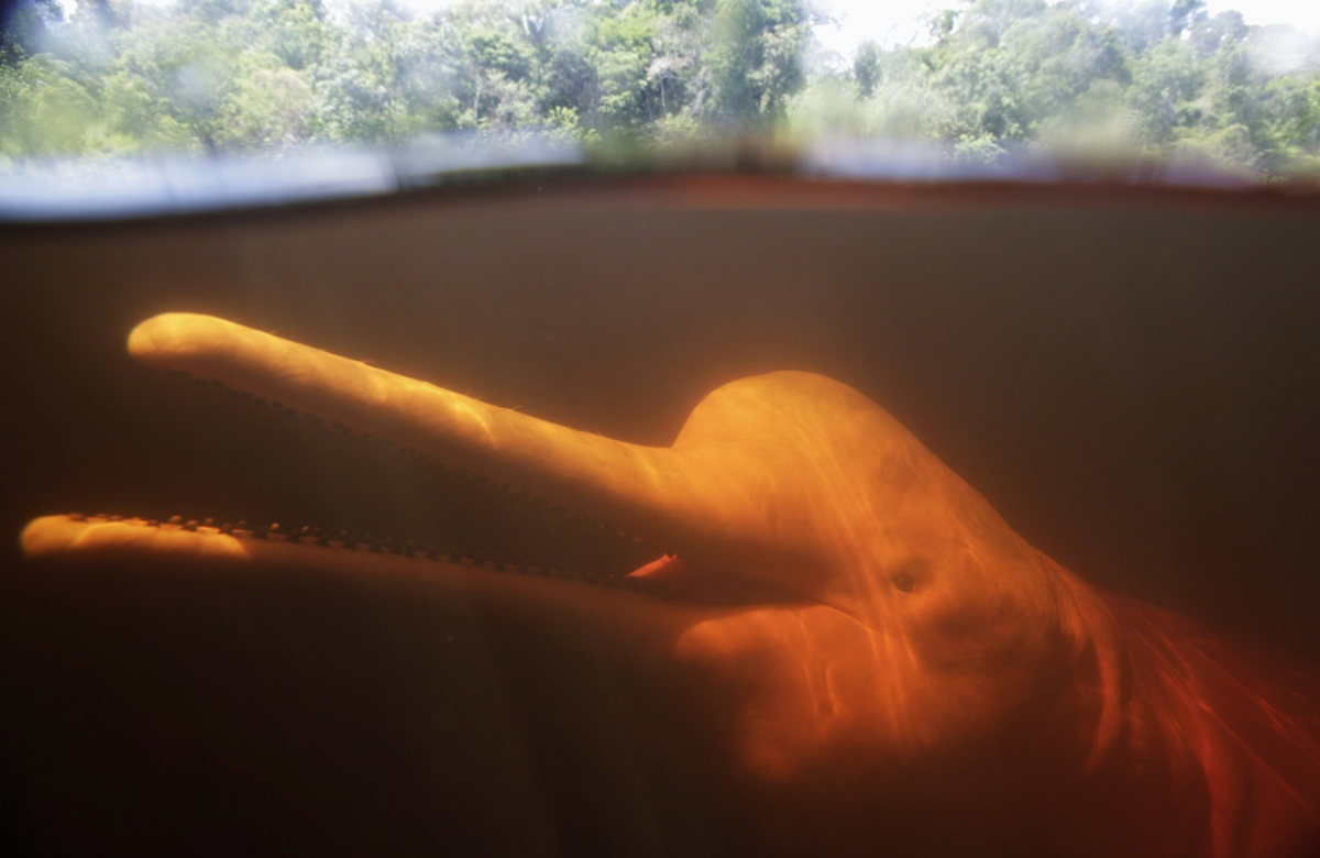 River dolphin. A