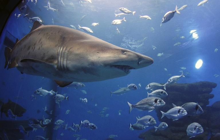 Tiger shark killed off Meelup Beach in Western Australia