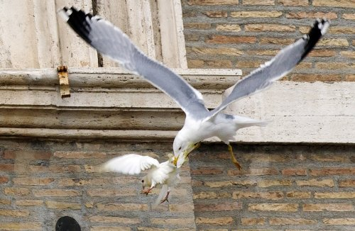 Doves attacked in Vatican Square