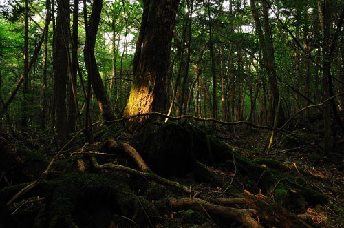 Japan Forest of Death Aokigahara