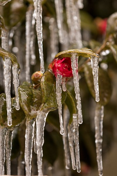 ice camellias