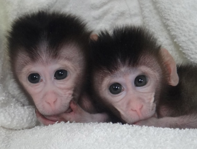 cynomolgus monkeys