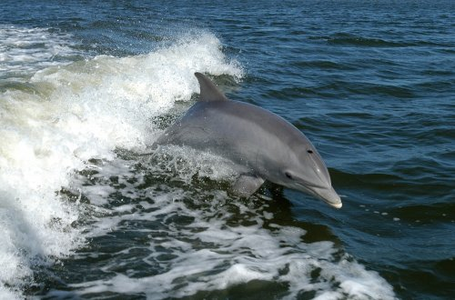 Bottlenose dolphin in the Gulf of Mexico.