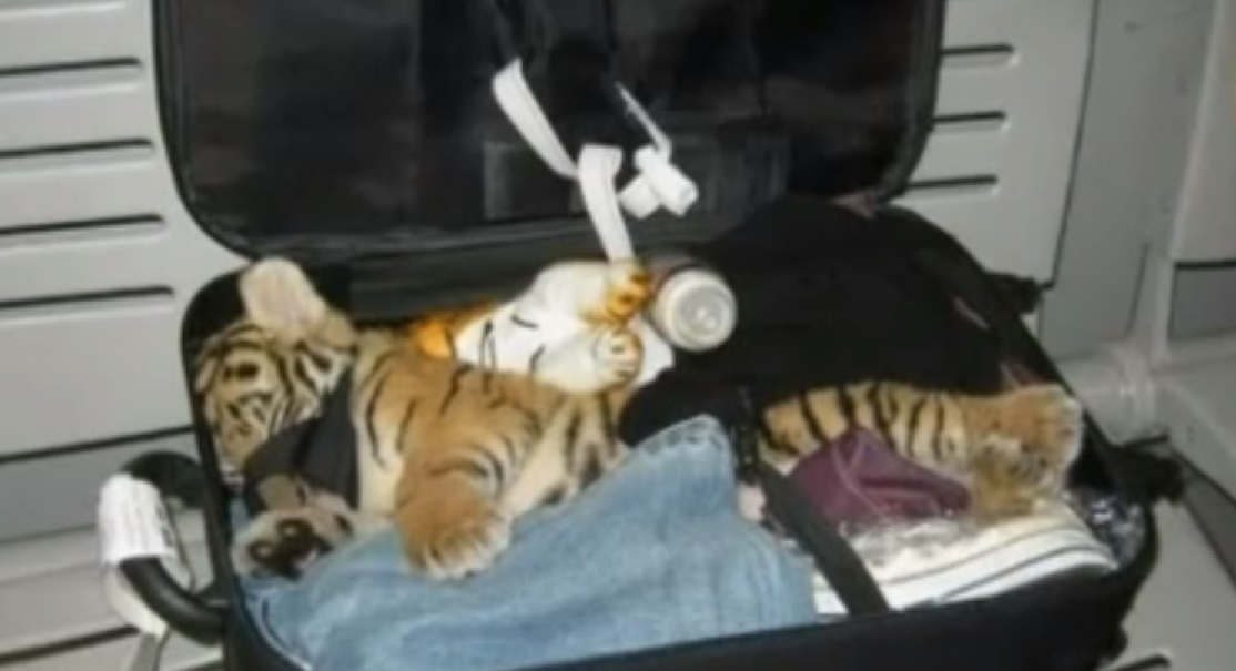 Tiger cub smuggled into Iran