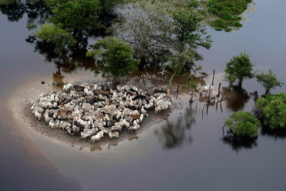 flooding cattle