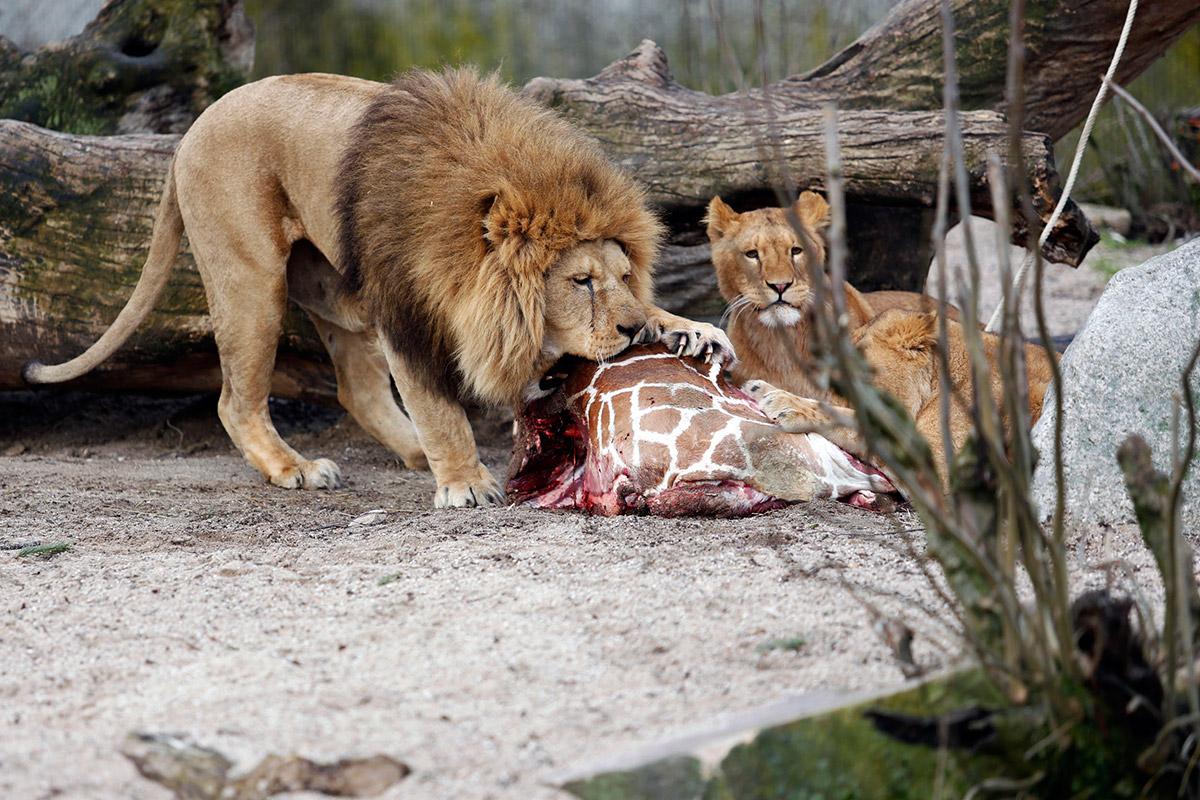 giraffe lions