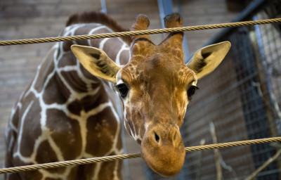 Marius the giraffe is pictured in Copenhagen Zoo February 7, 2014.