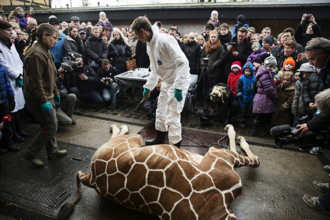 People look on as a veterinarian prepares to dismember the giraffe Marius after it was killed in Copenhagen Zoo February 9, 2014.