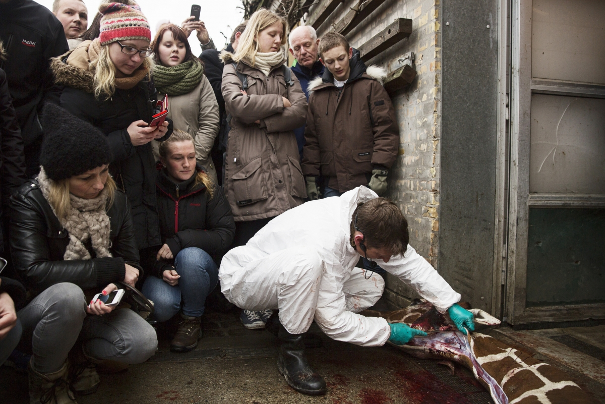 People look on as a veterinarian cuts apart the giraffe Marius after it was killed in Copenhagen Zoo February 9, 2014.