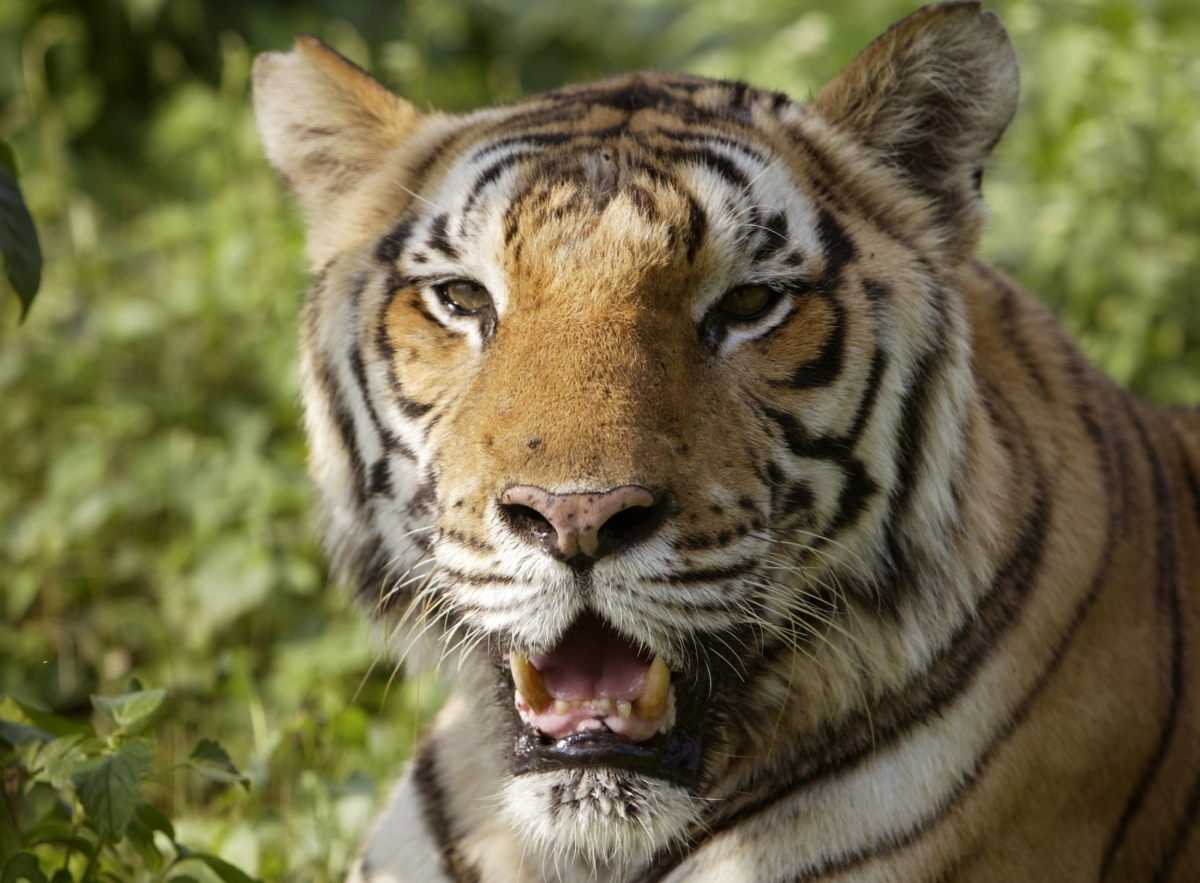 Indian Tigress suspected of killing nine people hunted in the Himalayas, in northern India