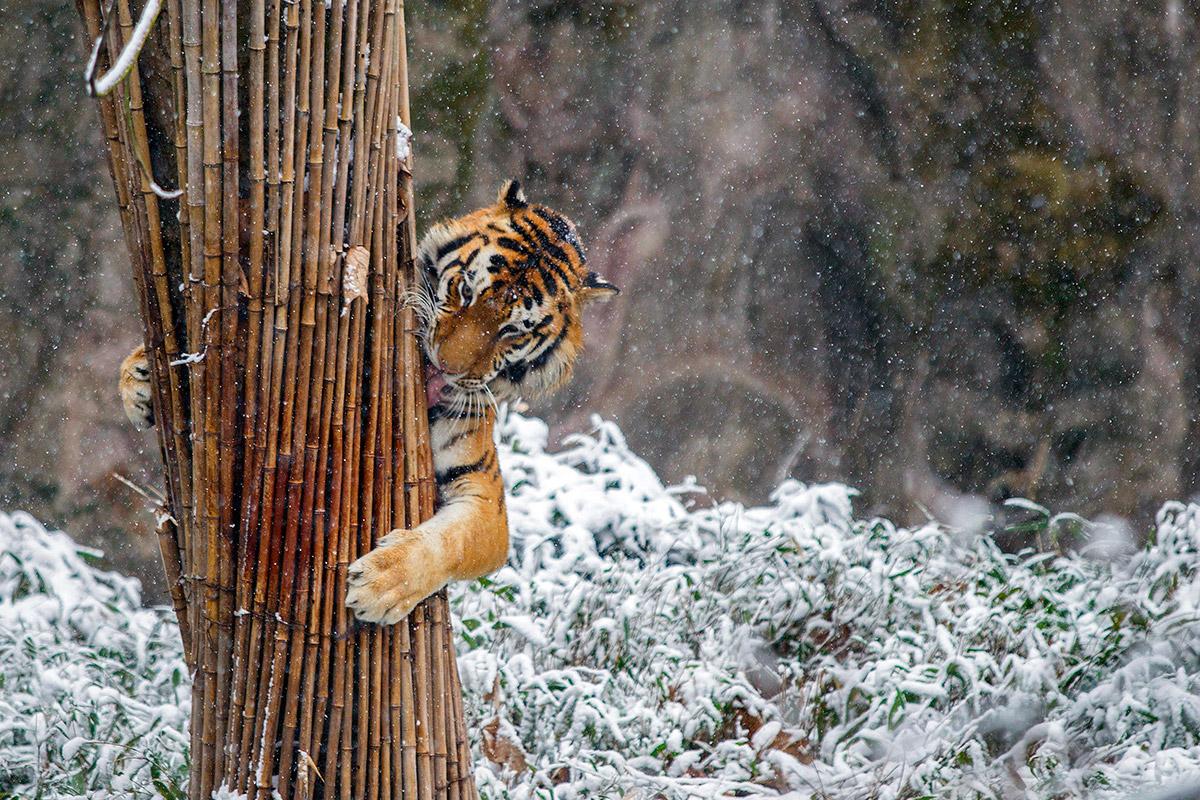 tiger bamboo