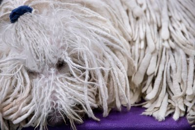 komondor sleeping