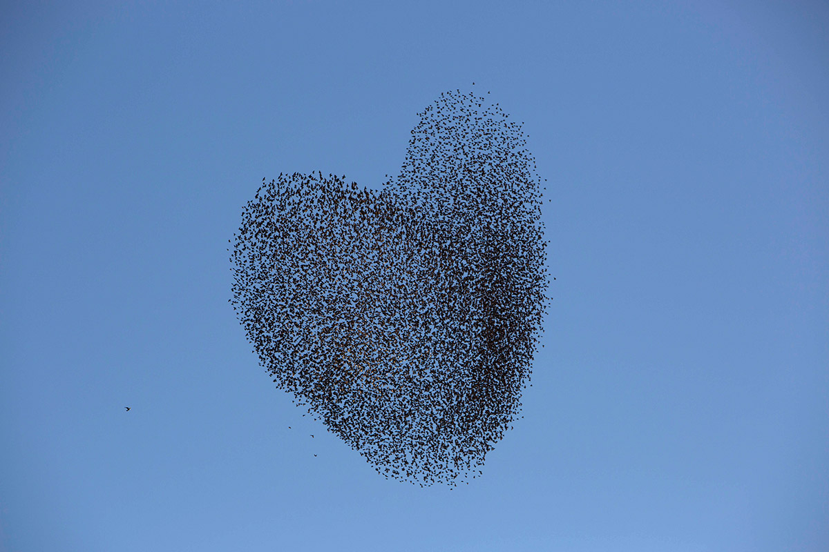 valentines starlings