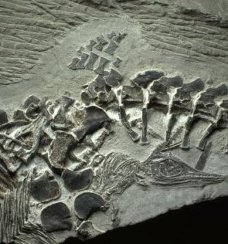 A fossil of a Chaohusaurus, the oldest known live birth, has been discovered