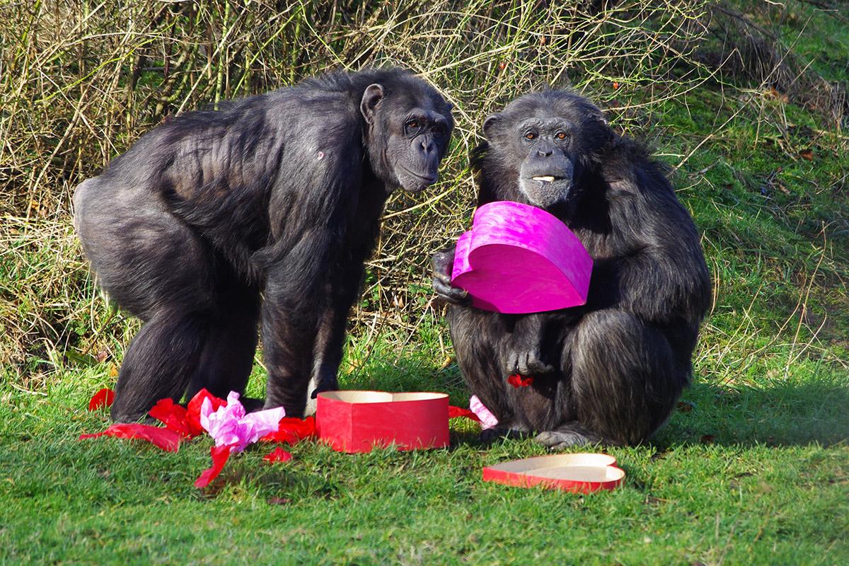 valentine chimps