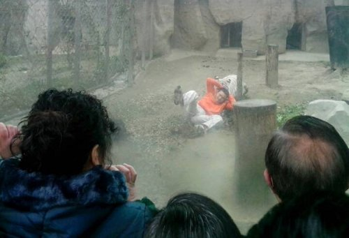 A female Bengali white tiger drags a man by his shirt after the man climbed into the enclosure, at a zoo in Chengdu, Sichuan province February 16, 2014