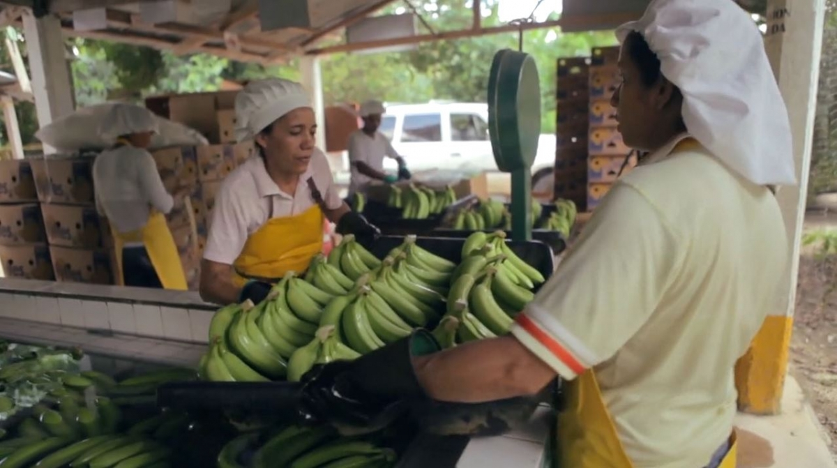 Banana Farmers Trapped in Poverty by Britain's Supermarket Price Wars