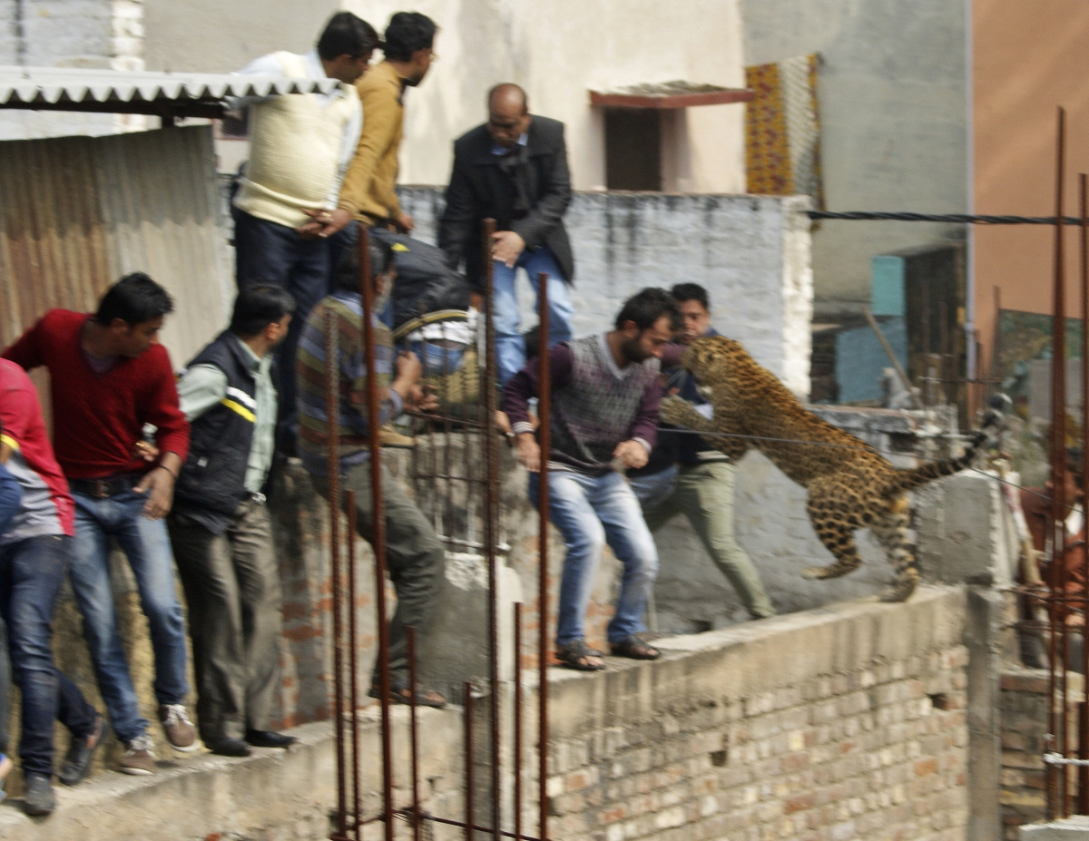 india city near capital on alert as rampaging leopard