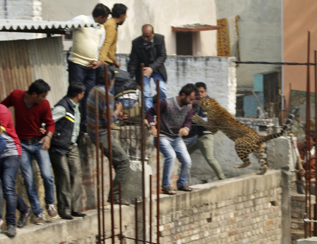 India: Leopard attack in Meerut