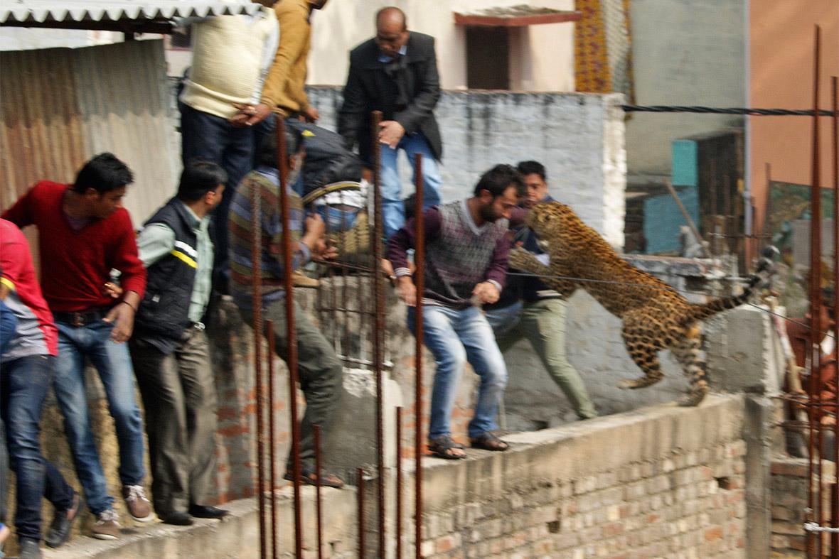 leopard attack