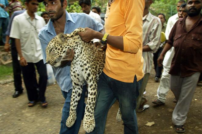 leopard india