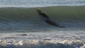 Giant Crocodile spotted in the surf in Western Australia