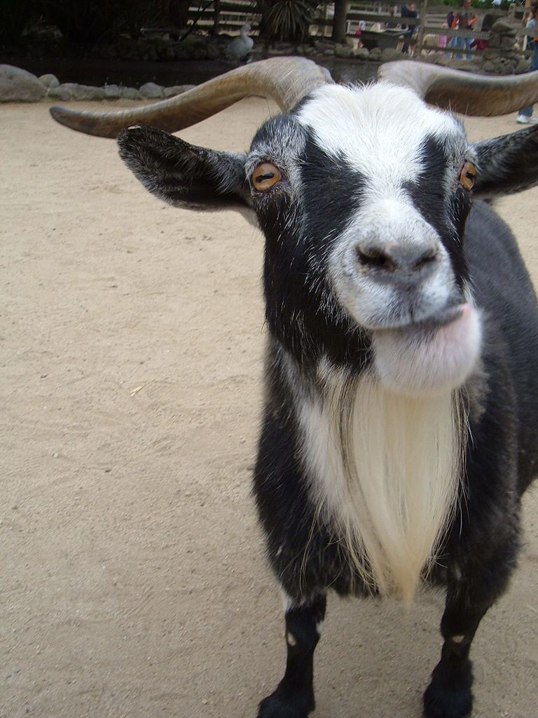 Horny Goats Give Off Eau De Male Scent To Turn On Females